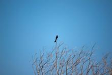 Black Bird On Dry Branches Of Tree Under Blue Sky.
