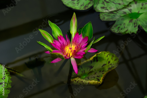 Foto op Canvas Lotusbloem Lotus is an ornamental plant that is odorless, but has a beautiful color.