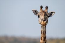 Close-up Of Masai Giraffe Head Facing Camera