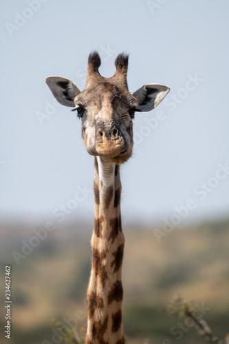 Photo  Close-up of Masai giraffe head and neck