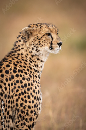 Close-up of cheetah sitting staring in grass Fototapet