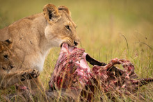 Close-up Of Lioness And Cub Ea...