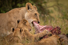 Close-up Of Lioness Chewing Ki...