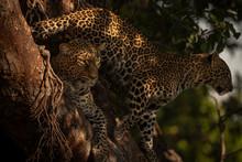 Cub Stands Behind Leopard Lyin...