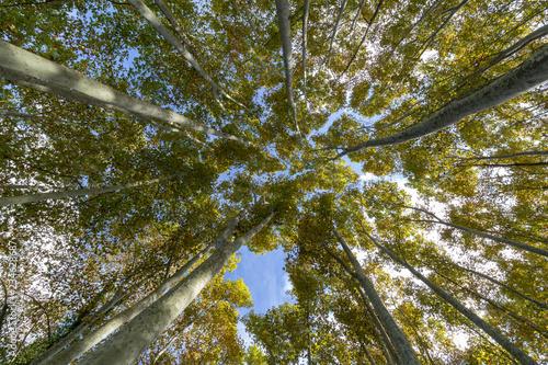 Obraz na plátně Nice poplar trees from bottom view in a sunny day in Spain