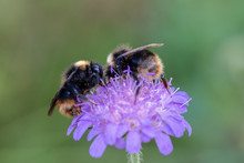 Two Bumblebees Full Of Pollen ...