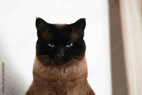 Cuadros en Lienzo  watchful siamese cat with narrowed eyes and menacing look