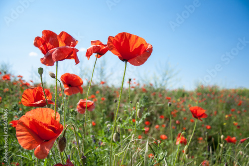 beautiful field with red poppies flowers in spring in May. selective focus