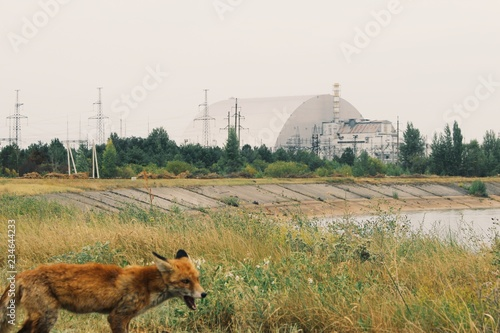Fotografie, Obraz  Hungry animal searching for food in chernobyl