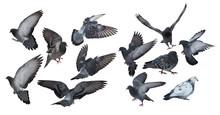 Twelve Isolated On White Dark Grey Pigeons