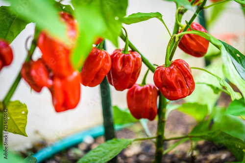 Photo  Red hot chilli pepper habanero red caribbean on a plant.