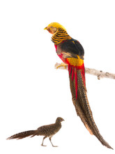 Male And Female Pheasant Gold