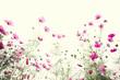 Leinwandbild Motiv Pink cosmos flower on vintage pastel background