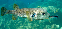 FIFO, Porcupine Pufferfish (diodon Hystrix) Being Cleaned By Two Cleaner Fish (labroides Dimidiatus) At Cleaning Station , Bali, Indonesia