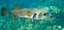 FIFO, Porcupine Pufferfish (di...