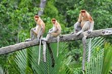 Nasenaffen, Sabah, Borneo - Ma...