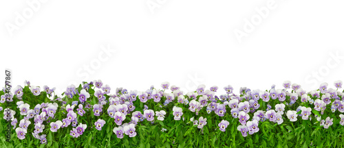 Border of pansy plants with flowers in shades of violet, lilac and blue in panorama format, isolated on white, background template