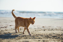 Cute Red Kitten On The Sand Of...