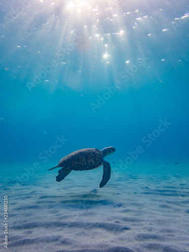 Poster Tortue Swimming with Turtles at Westpunt on the Island of Curacao in the Caribbean