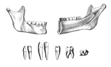 Vintage Illustration Of Anatomy, The Lower Right Jaw, Exterior And Interior View With Permanent Teeth And Teeth Set
