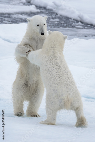 In de dag Ijsbeer Two young wild polar bears playing on pack ice in Arctic sea