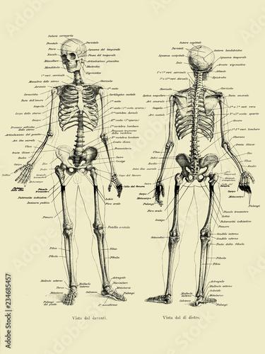 Tableau sur Toile Vintage illustration of anatomy, human complete bone skeletal structure front an