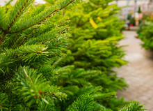 Green Fir Trees For Sale At Christmas Tree Lot Garden Store