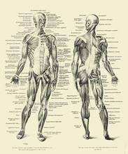 Vintage Illustration Of Anatom...