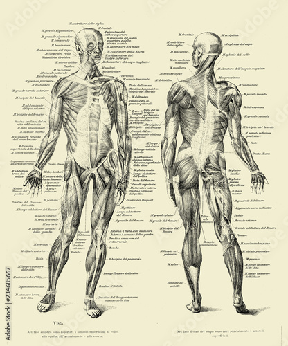 Fotografia Vintage illustration of anatomy, human complete muscular structure front and bac
