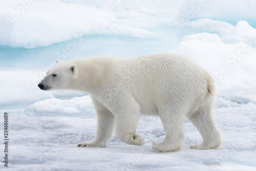 Photo Stands Polar bear Wild polar bear going in water on pack ice in Arctic sea