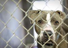Homeless Pit Bull Dog In Cage ...