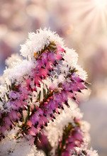 Flowering Winter Heath, Erica Carnea, Covered With White Hoar Frost