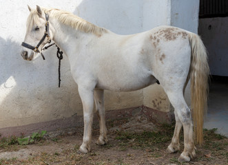 beautiful white young horse