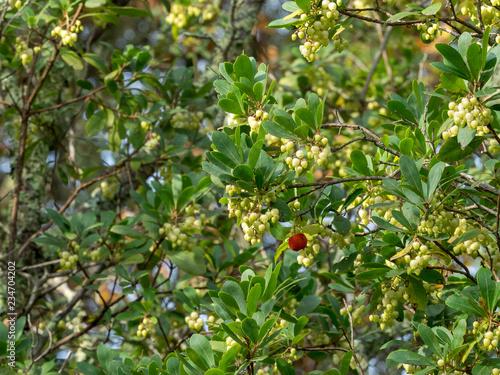 Arbustus unedo - L'arbousier commun ou arbre à fraises avec des rameaux remplis Wallpaper Mural