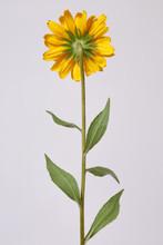 Yellow Flower Of Rudbeckia Fro...