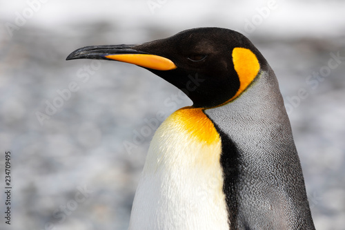 Fotografía Close-up of a King Penguin in Salisbury Plain on South Georgia in the Antarctic