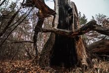 A Split Tree, A Big, Old, Burnt Tree.