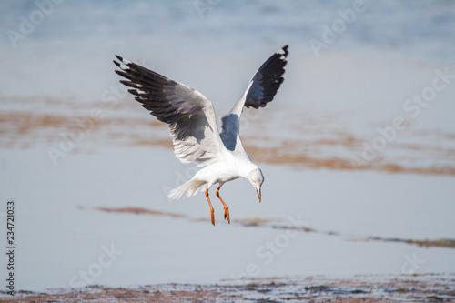 Obraz na plátne Southern Royal Albatross