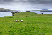 St. Ninian's Isle, Sheep And S...