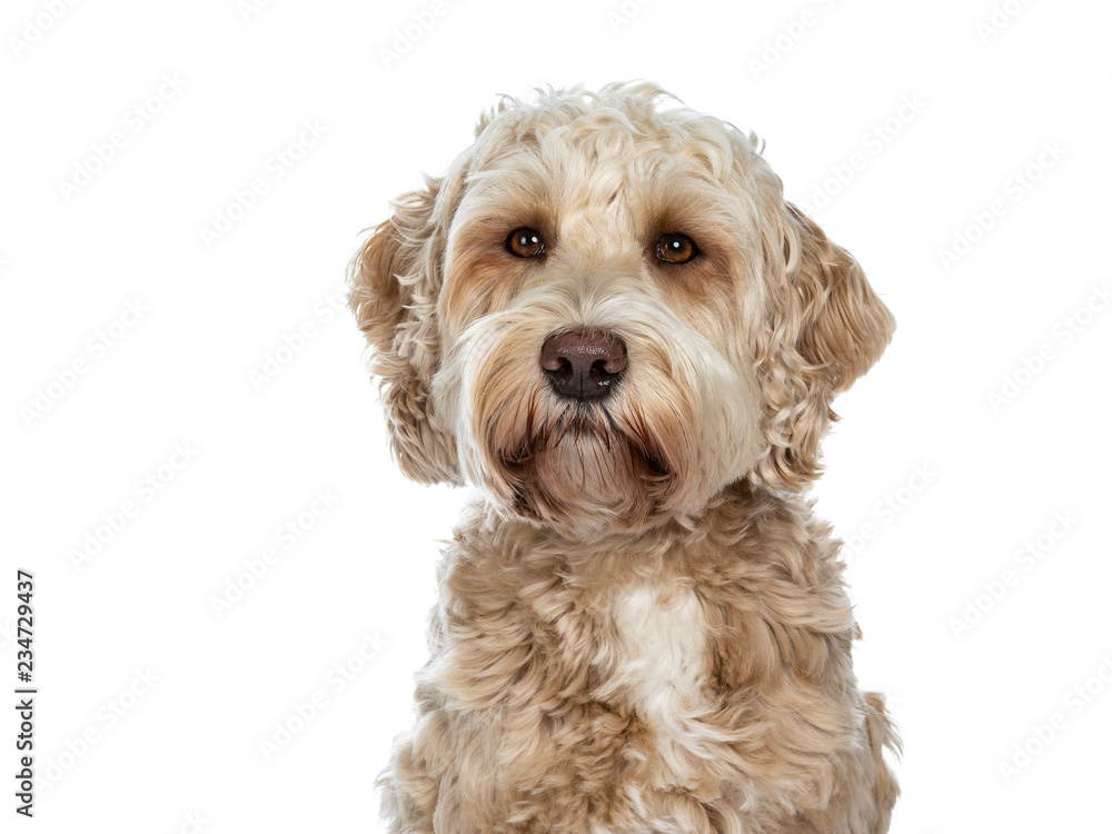 Fototapety, obrazy: Head shot of sweet female adult golden Labradoodle dog sitting with closed mouth, looking beside camera with brown eyes. Isolated on a white background.