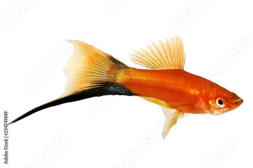 Red Swordtail Male black tail Xiphophorus Helleri aquarium fish isolated on white