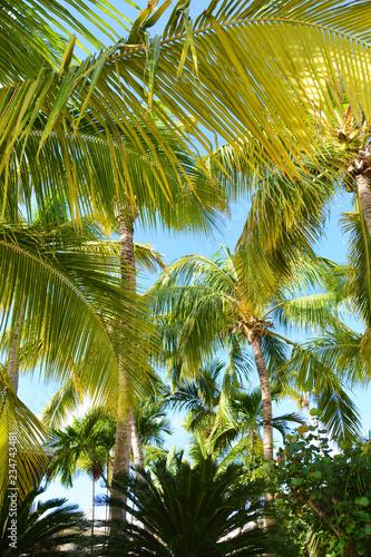 Foto op Plexiglas Palm boom palm, tree, sky, tropical, coconut, beach, palm tree, nature, green, blue, summer, trees, island, palms, vacation, caribbean, sun, leaf, travel, palmtree, plant, palm trees, blue sky, exotic, holiday
