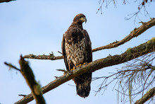 Young Bald Eagle In Tree