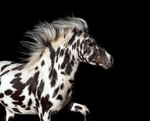 Appaloosa Pony Stallion Isolated On Black Portrait