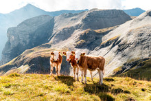 Young Calves On An Alp In The ...