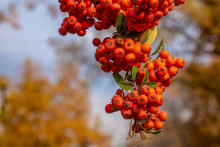 Detail Of Ornamental Plant Berries Of Scarlet Firethorn (pyracantha Coccinea) In Autumn Season And Blurred Background In The Garden Of Turkish Grand National Assembly Building