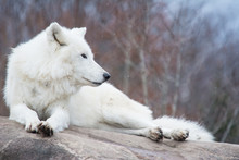 White Wolf Lying On A Rock In Light Snowfall