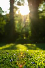Sunshine On Grass With Purple Flowers. Green Grass.