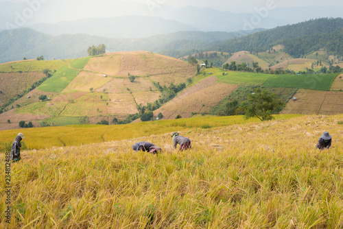 The Asian farmer at golden rice filed is harvesting the rice during harvesting season. nature concept