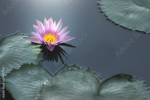 Foto op Canvas Lotusbloem lotus flower close-up